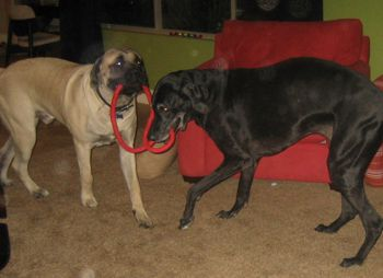 great dane and mastiff puppy playing