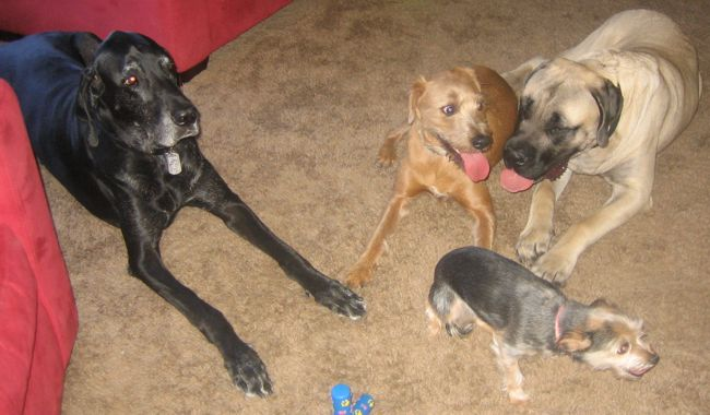 great dane, mastiff, boxer mix and yorkie chihuahua