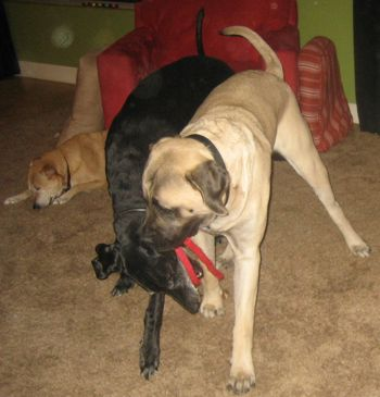 mastiff puppy and great dane playing
