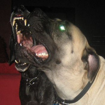 great dane and mastiff