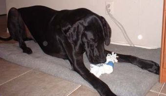 great dane puppy with a new toy