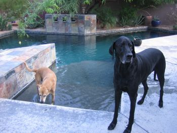 great dane and shepherd mix swimming
