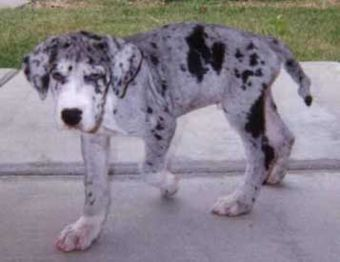 merle great dane puppy